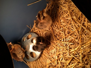 3 Little chicks